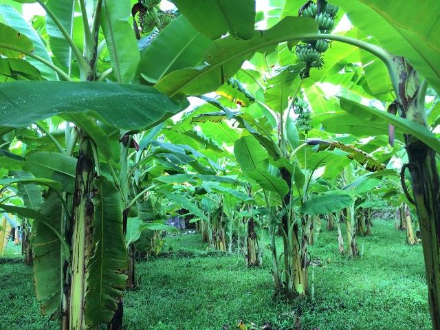 Tiếp tục thực hiện đề tài NCKH và tổ chức tập huấn trồng chuối tây nuôi cấy mô tại Kim Bình